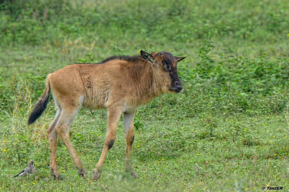Gnu/Wildebeest