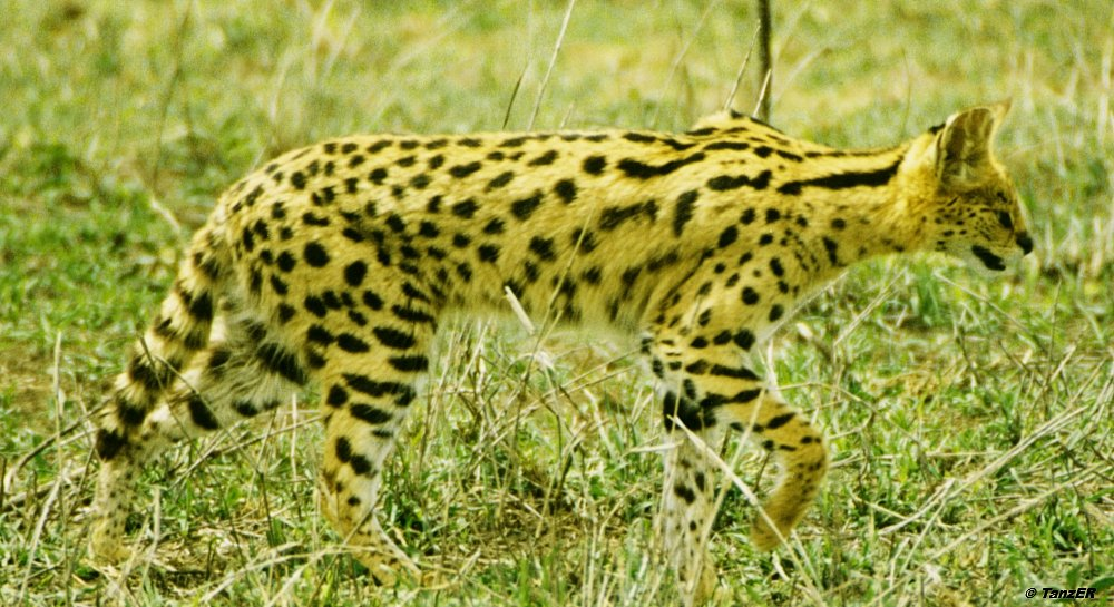 Serval/Serval/Mondo