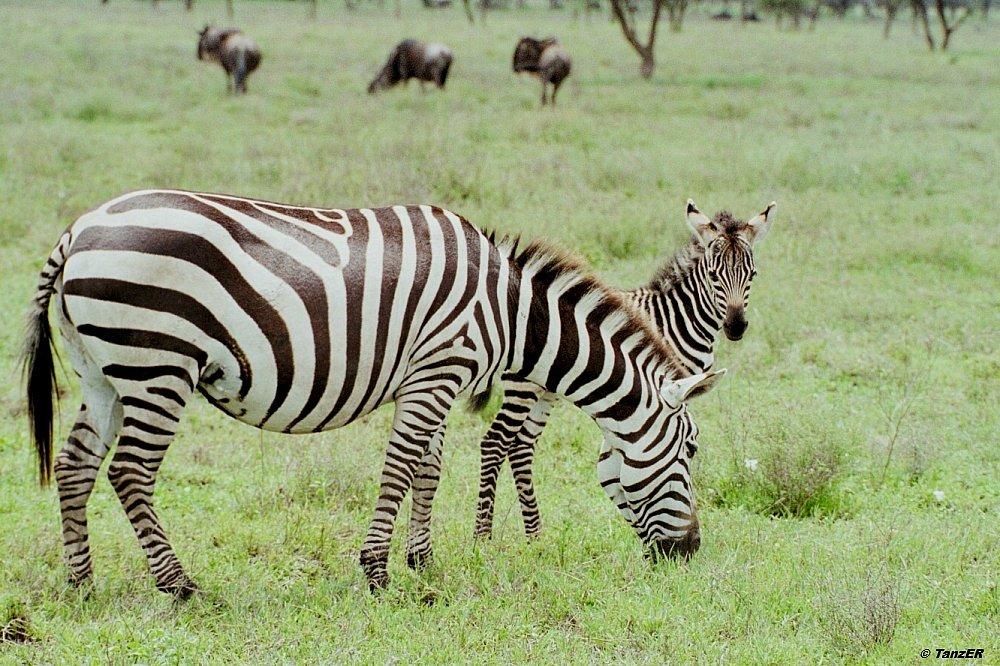 Zebra/Punda milia