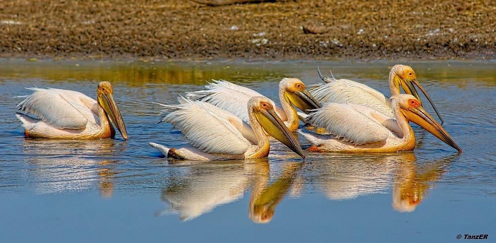 Rosapelikan/Great White Pelican