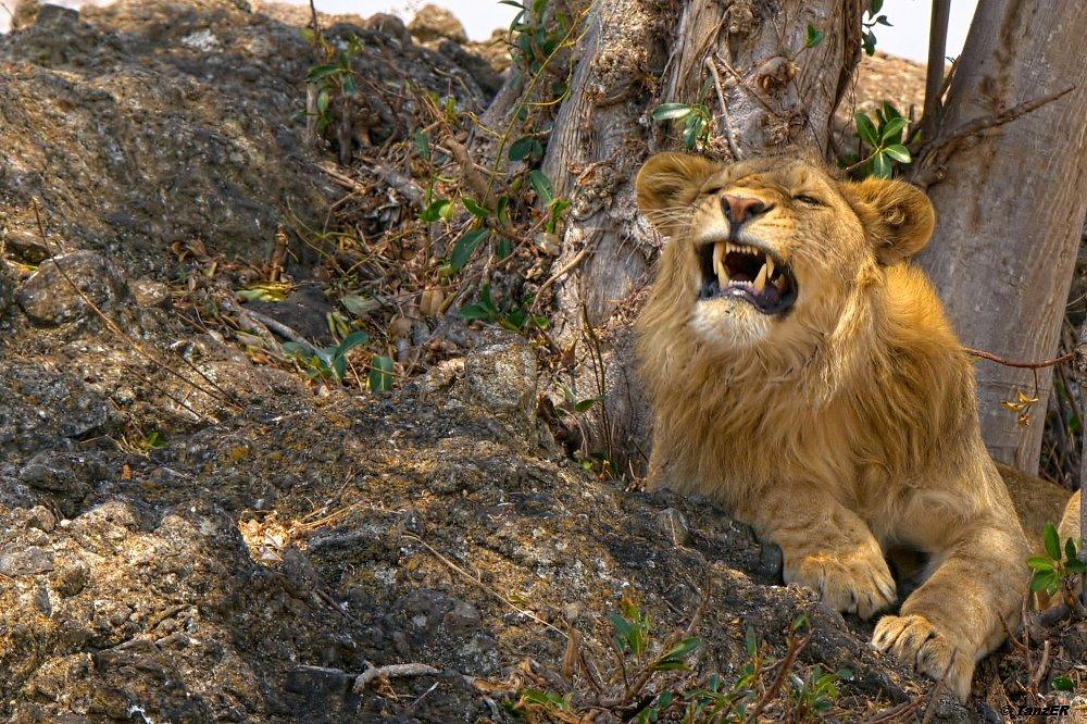 Löwe/Lion/Simba