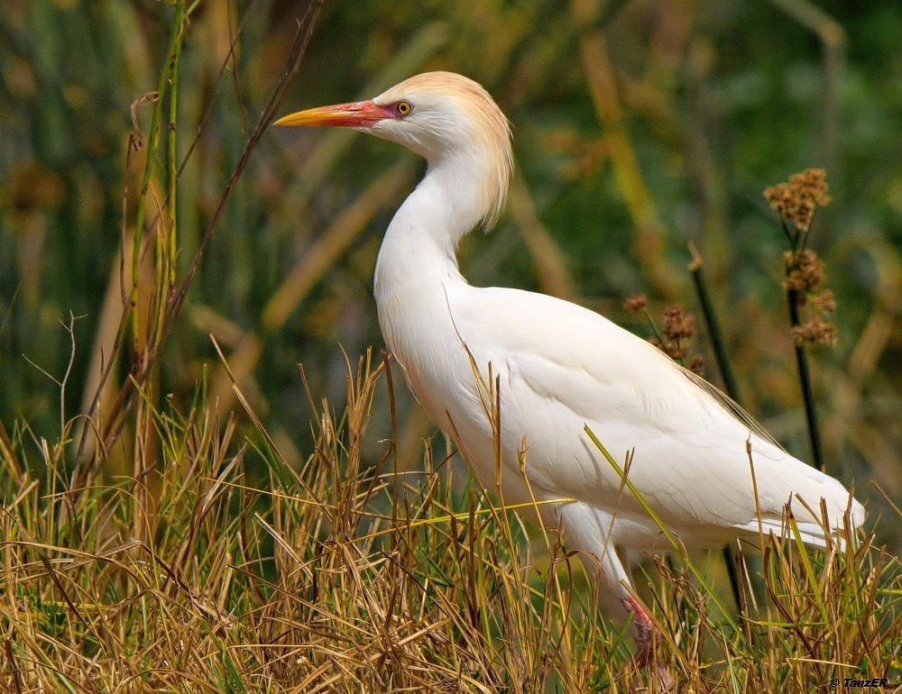 Kuhreiher/Cattle Egret