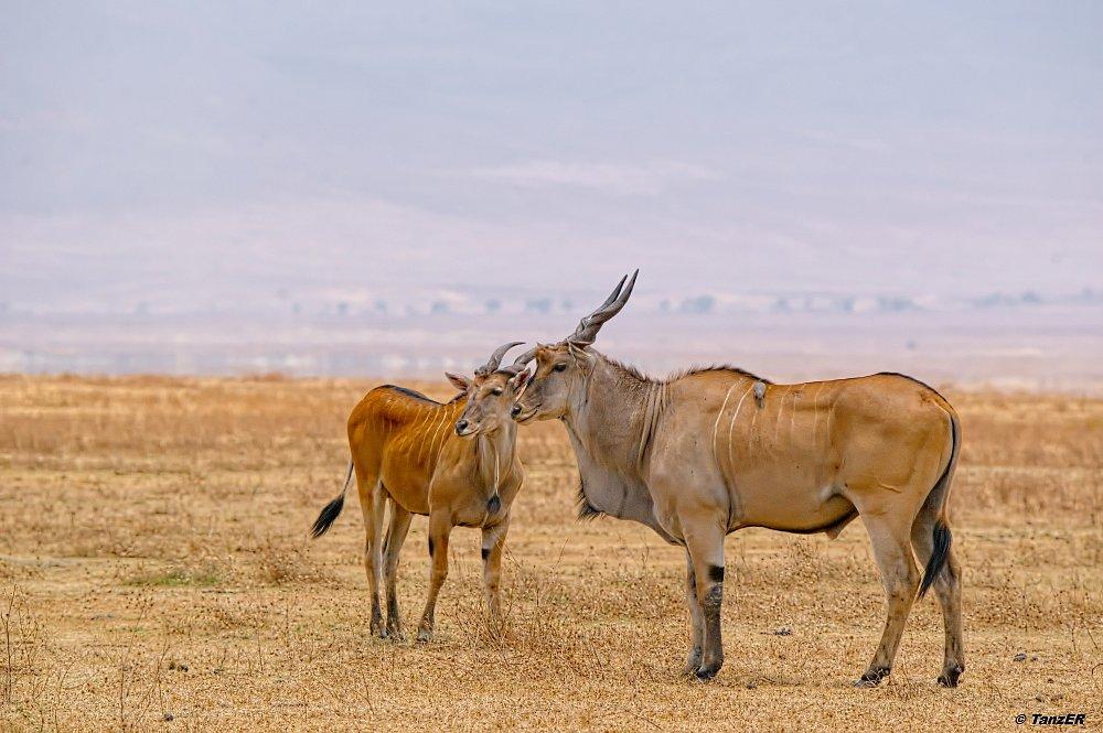 Elen-Antilope