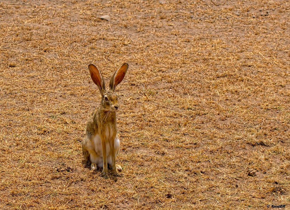 Kaphase/Cape Hare/Sungura