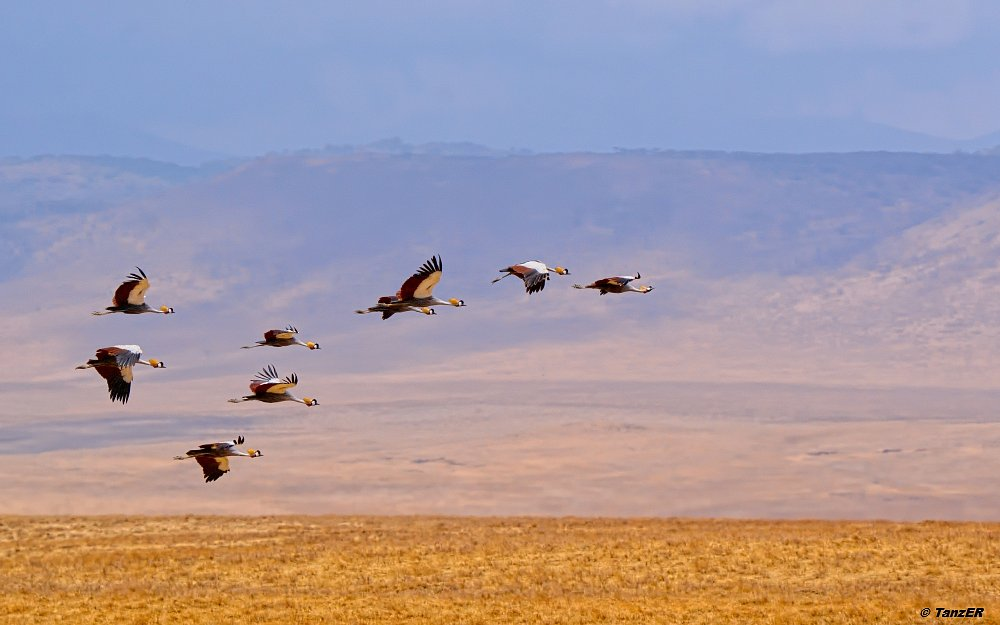 Kronenkranich/Grey Crowned Crane