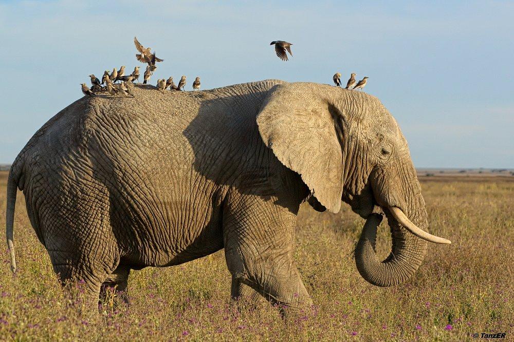 Afrikanischer Elefant/African Elephant/Tembo