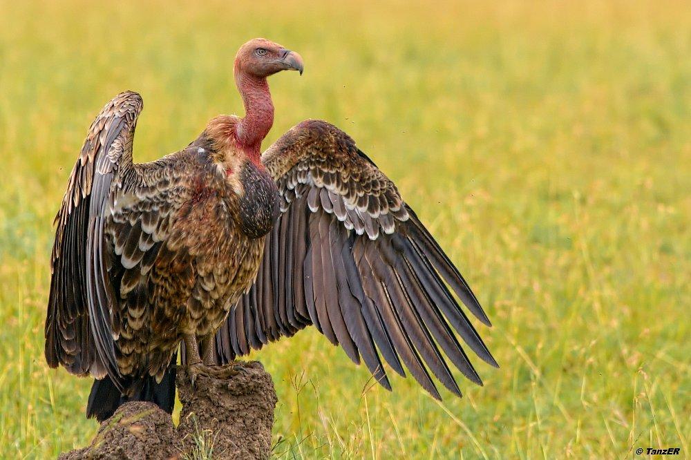 Sperbergeier/Rüppel's Griffon Vulture