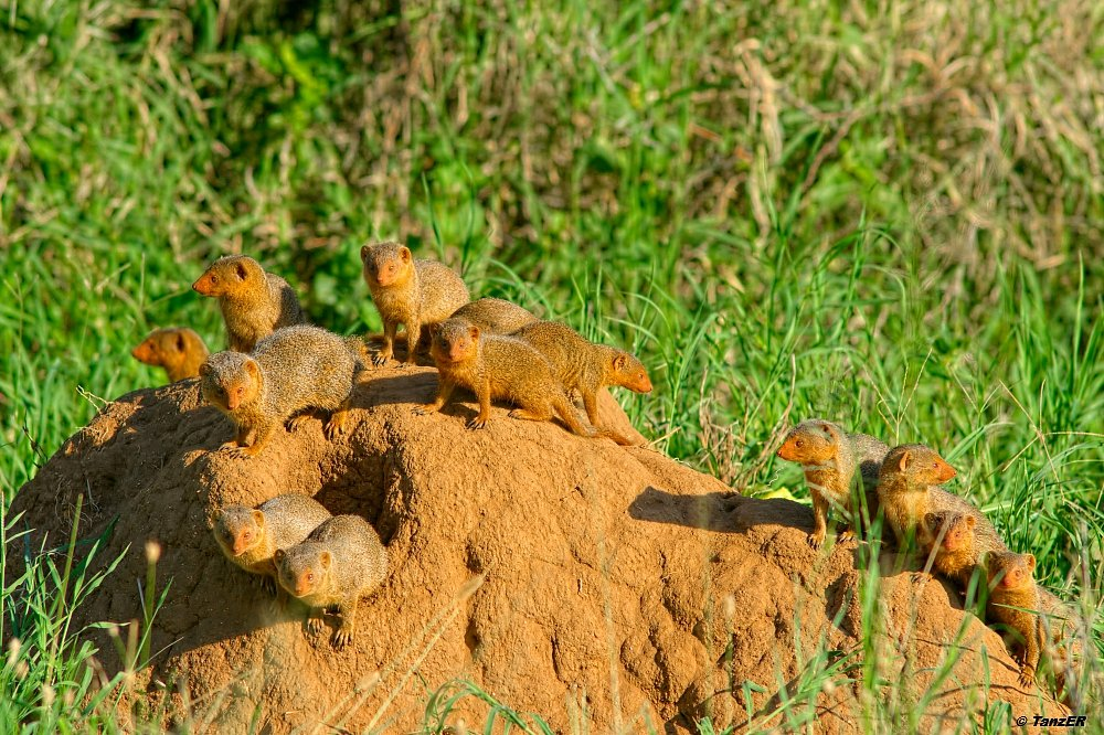 Zwergmanguste/Dwarf Mongoose/Kitafe