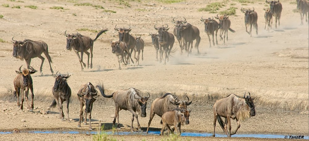 Weissbartgnu/Wildebeest/Nyumbu ya montu