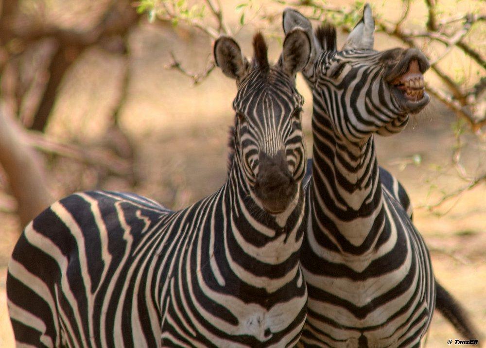 Steppenzebra/Plains Zebra/Punda milia
