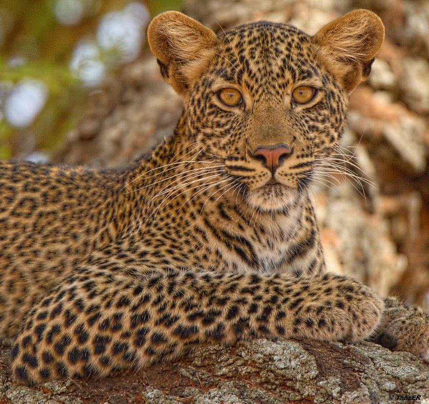 Leopard (Portrait)