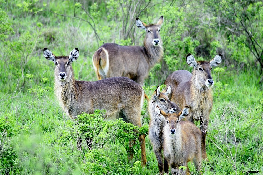 Elipsen-Wasserbock/Common Waterbuck/Kuru