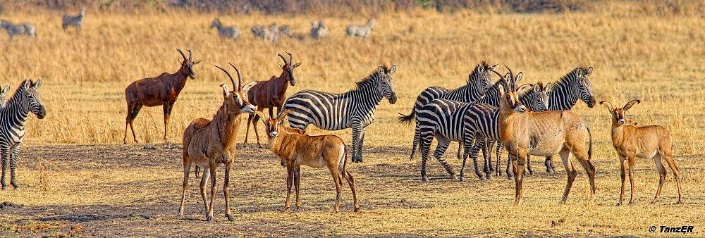 Pferde-Antilope/Roan Antelope/Korongo