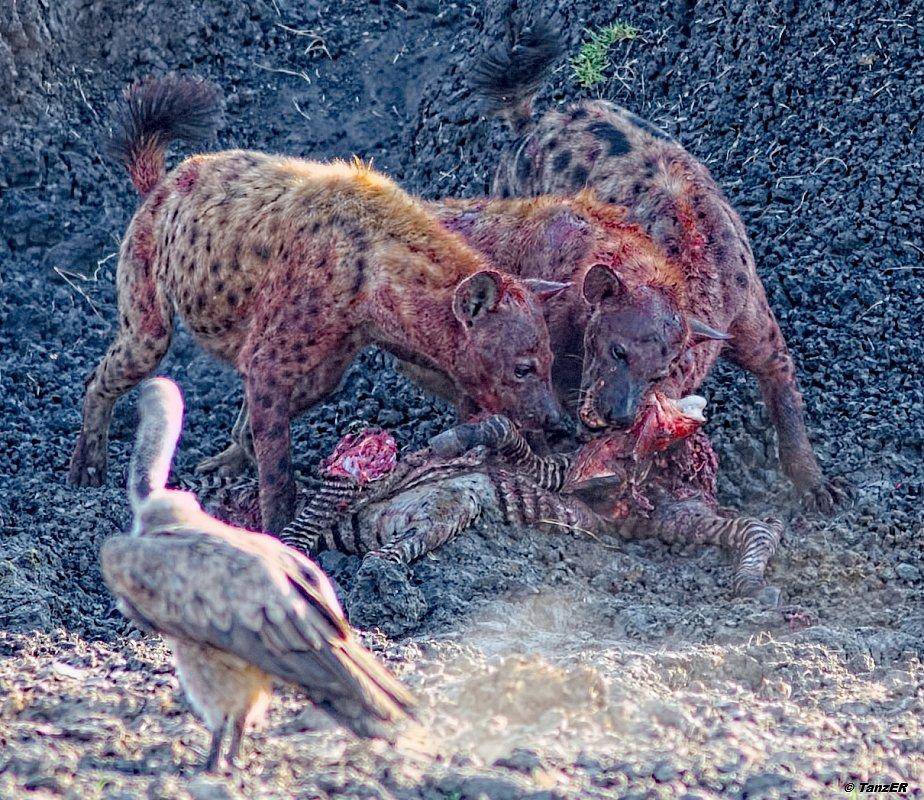 Tüpfel-Hyäne/Spotted Hyena/Fisi