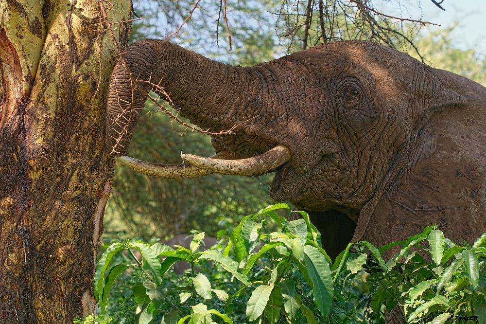 Elefant/Elephant/Tembo
