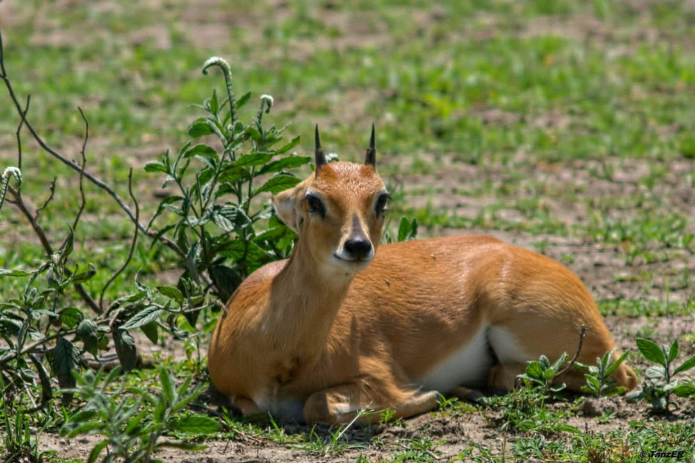 Kronenducker/Common Duiker/Nsya
