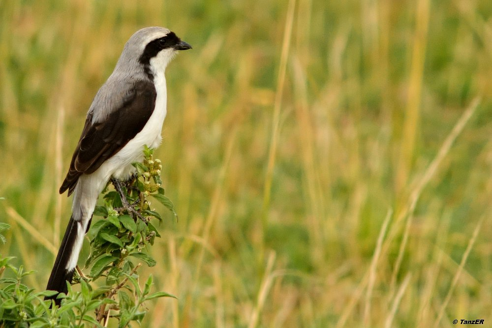 Graumantelwürger/Gray-backed fiscal