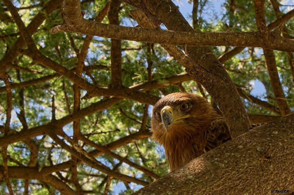 getarnter Adler