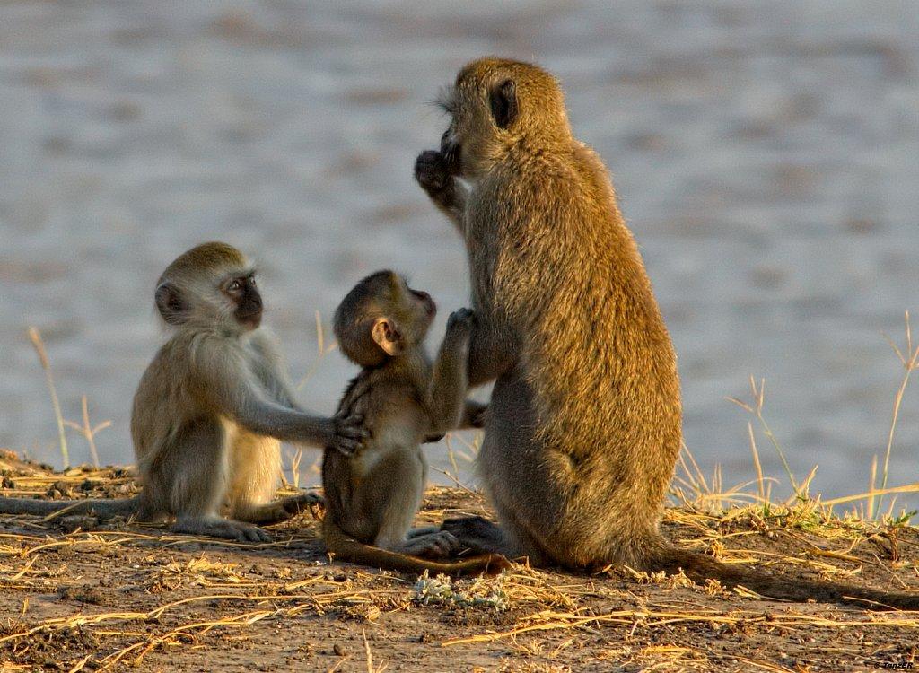 Grünmeerkatze/Vervet Monkey/Tumbili