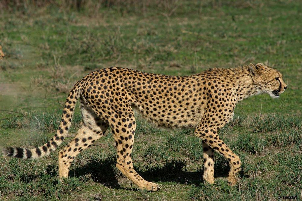 Gepard/Cheetah/Duma