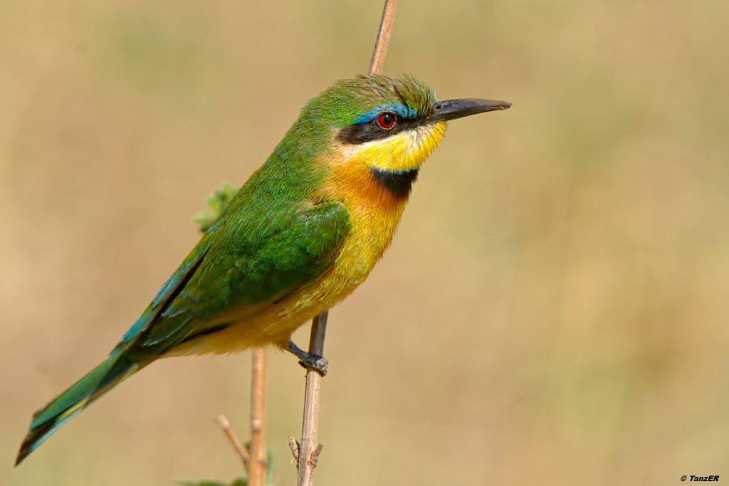 Zwergspint/Little Bee-eater