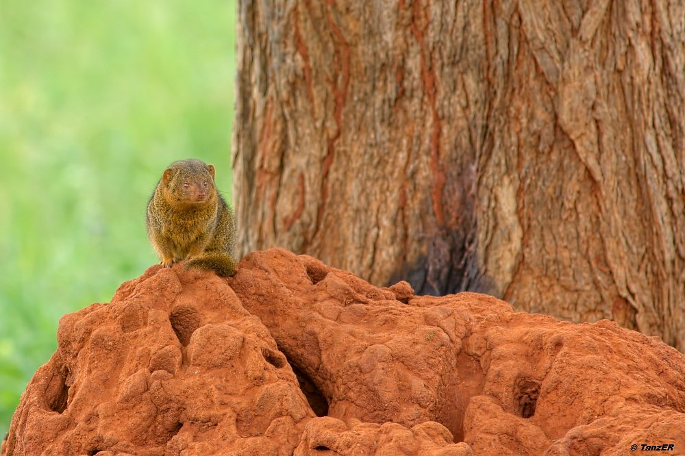 Zwerg-Manguste/Dwarf Mongoose