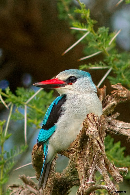 Senegal-Liest/Woodland Kingfisher