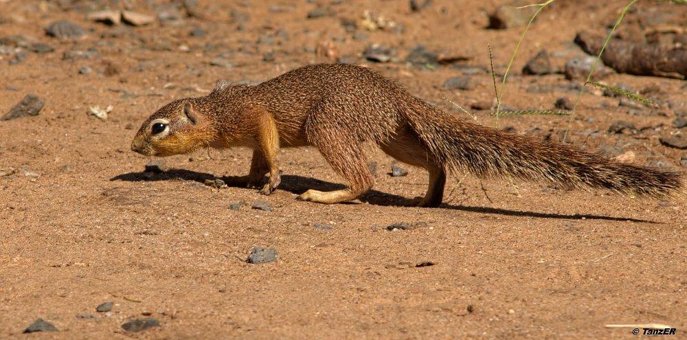 Afrikanisches Buschhörnchen/Bush Squirrel