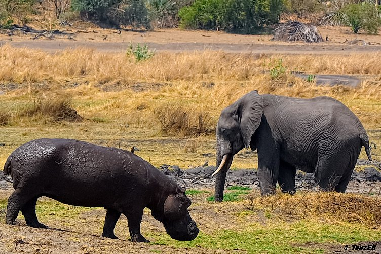 Elefant trifft Hippo