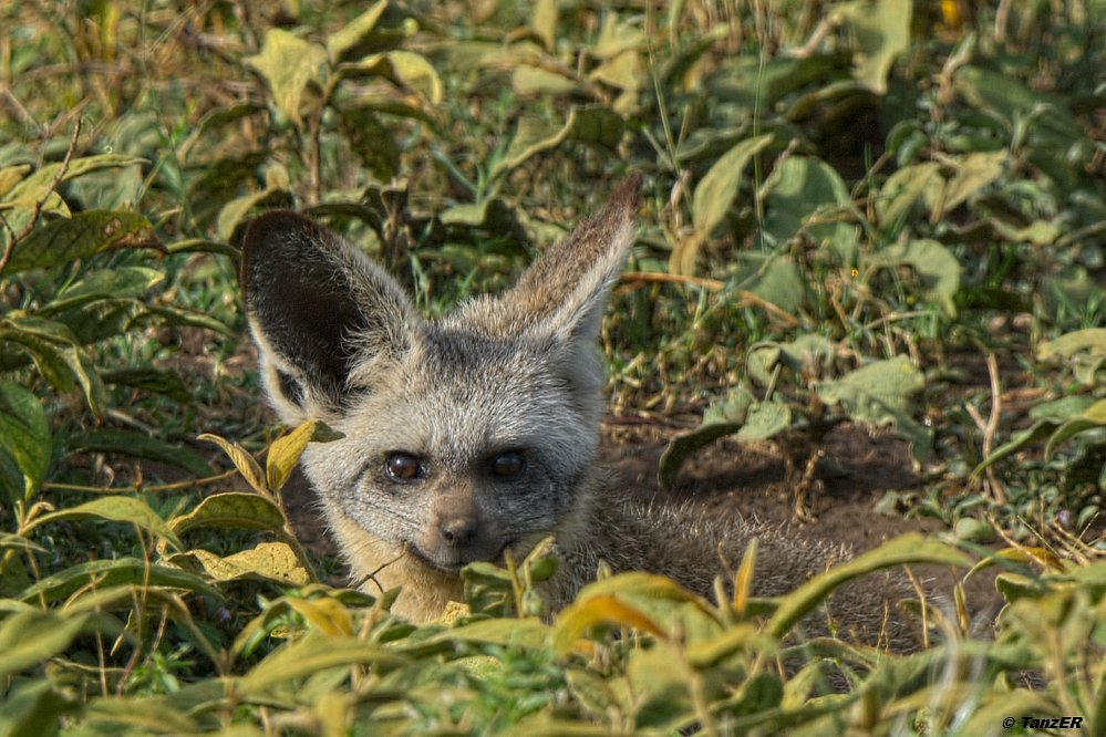 Löffelhund/Bat-eared Fox